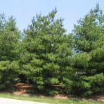 Pine tree for survival